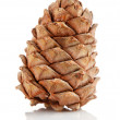 Single cedar cone — Stock fotografie