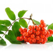 Ashberry cluster with red berry and green leaf - Stock Photo