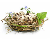 Quail eggs in a nest isolated on white — Stock Photo