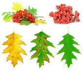 Sada podzimní listí a divoké popel bobule — Stock fotografie