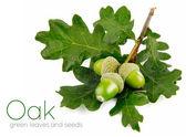Frutos bellota verde con hojas — Foto de Stock