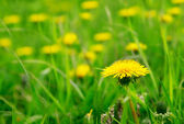 Yellow flowers on the green grass — Stock Photo