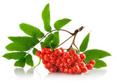 Ashberry cluster with red berry and green leaf — Stock Photo