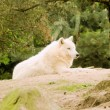 Stock Photo: Arctic white wolf