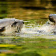 Otter in water — Stock Photo #6584023