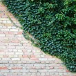 Royalty-Free Stock Photo: The brick wall and the ivy