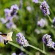 Stock Photo: Humming bird Hawk moth