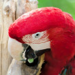 Scarlet Macaw — Photo #6584614