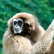 The gibbon — Stock Photo