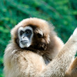 The gibbon — Stock Photo #6584691
