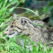 The fishing cat — Stock Photo