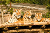 Beautiful tigers — Stock Photo
