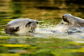 Otter in the water — Stock Photo