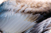 The feathers of a swan — Stock Photo