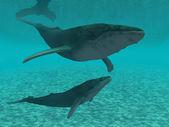 Kambur balina — Stok fotoğraf