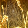 Royalty-Free Stock Photo: Spider in its web in the wheat