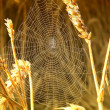 Spider in its web in the wheat — Stock Photo
