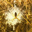 Spider in its web in the wheat — Stock Photo #6605866