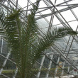 The palm tree in the greenhouse — Stockfoto