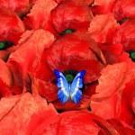 Butterfly on poppys blossom — Stock Photo