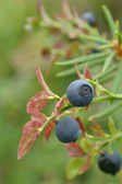 Common bilberry — Stock Photo