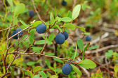 Bog Bilberry — Stock Photo