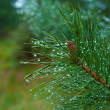 Stock Photo: Pine needles with rain drops