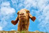 Humorous portrait of a goat — Stock Photo