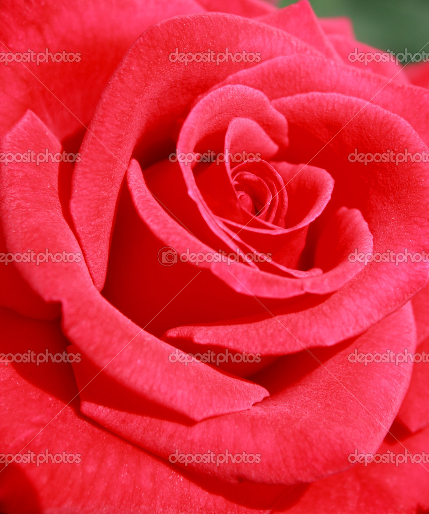Beautiful red rose close up — Stock Photo #6648480
