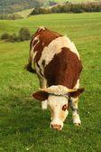 芝生のフィールドに牛します。 — ストック写真