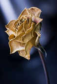 Dead and Dusty Rose — Stock Photo
