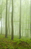 Beech forest in the summer after the storm — Stock Photo