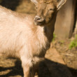 Stock Photo: Capr- small goat