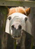 Pony - small horse — Stock Photo