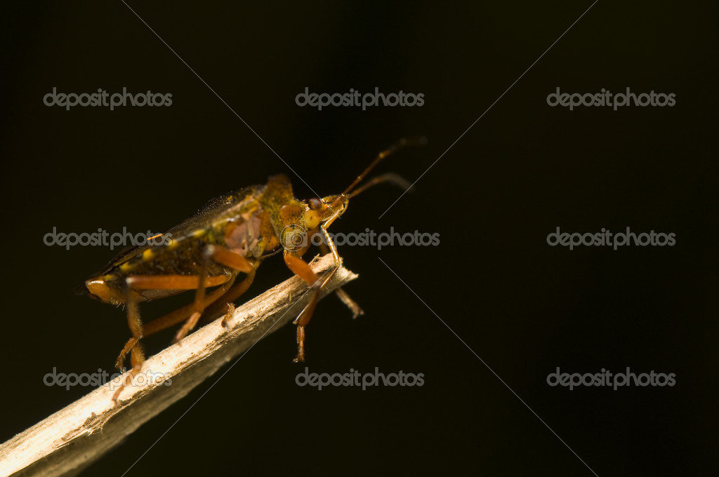 Pentatoma rufipes — Stock Photo #6737077