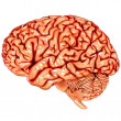 Royalty-Free Stock Vector Image: Human brain lateral view
