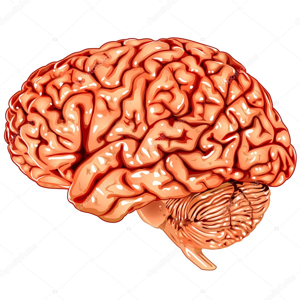 Illustration body part vector, human brain lateral view  Stock Vector #6603715