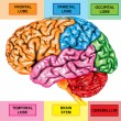 Human brain lateral view — Stock Photo