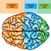 Human brain view top — Stock Photo