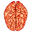 Human brain top view - Stock Vector