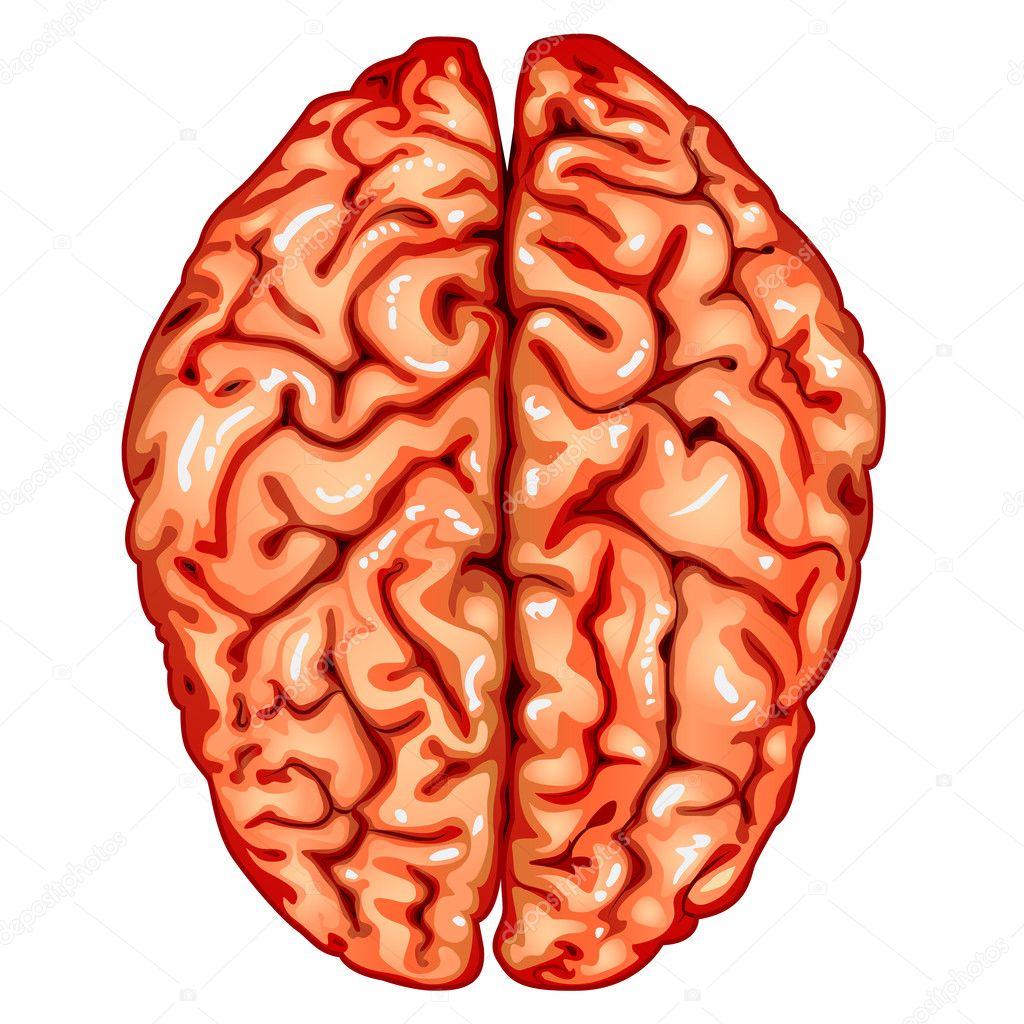 brain top view vector - photo #16