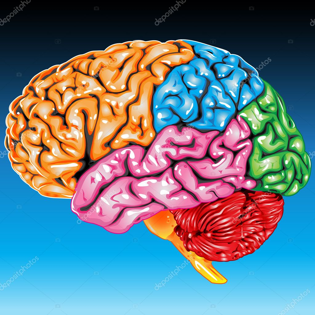 Illustration body part vector, human brain lateral view — Stock Vector #6616271