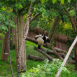 panda chinois — Photo