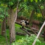 中国熊猫 — 图库照片