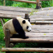 panda chinês — Foto Stock