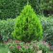 Bush in garden — Stock Photo #6660355