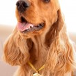 Young brown cocker spaniel on white background — 图库照片
