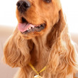 Young brown cocker spaniel on white background — Stockfoto