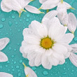 White camomile on blue background — Stock Photo #6660806