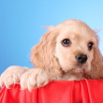 Puppy cocker spaniel on a white background — Stock Photo #6661227